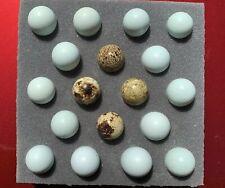 18 14 Celadon Blue 4 Jumbo Coturnix Quail Eggs Free Shipping