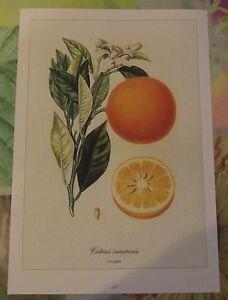 """Ancienne Planche Botanique d'après Gaston Bonnier Oranger orange - France - Commentaires du vendeur : """"Ancienne Planche Botanique d'aprs Gaston Bonnier"""" - France"""