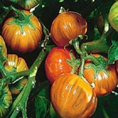 25 TURKISH ORANGE EGGPLANT Scarlet Solanum Aethiopicum Fruit Vegetable Seeds