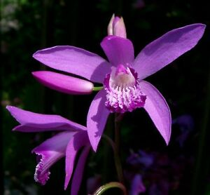40 graines Orchidée Jacinthe RUSTIQUE (Bletilla Striata)G524 GROUND ...