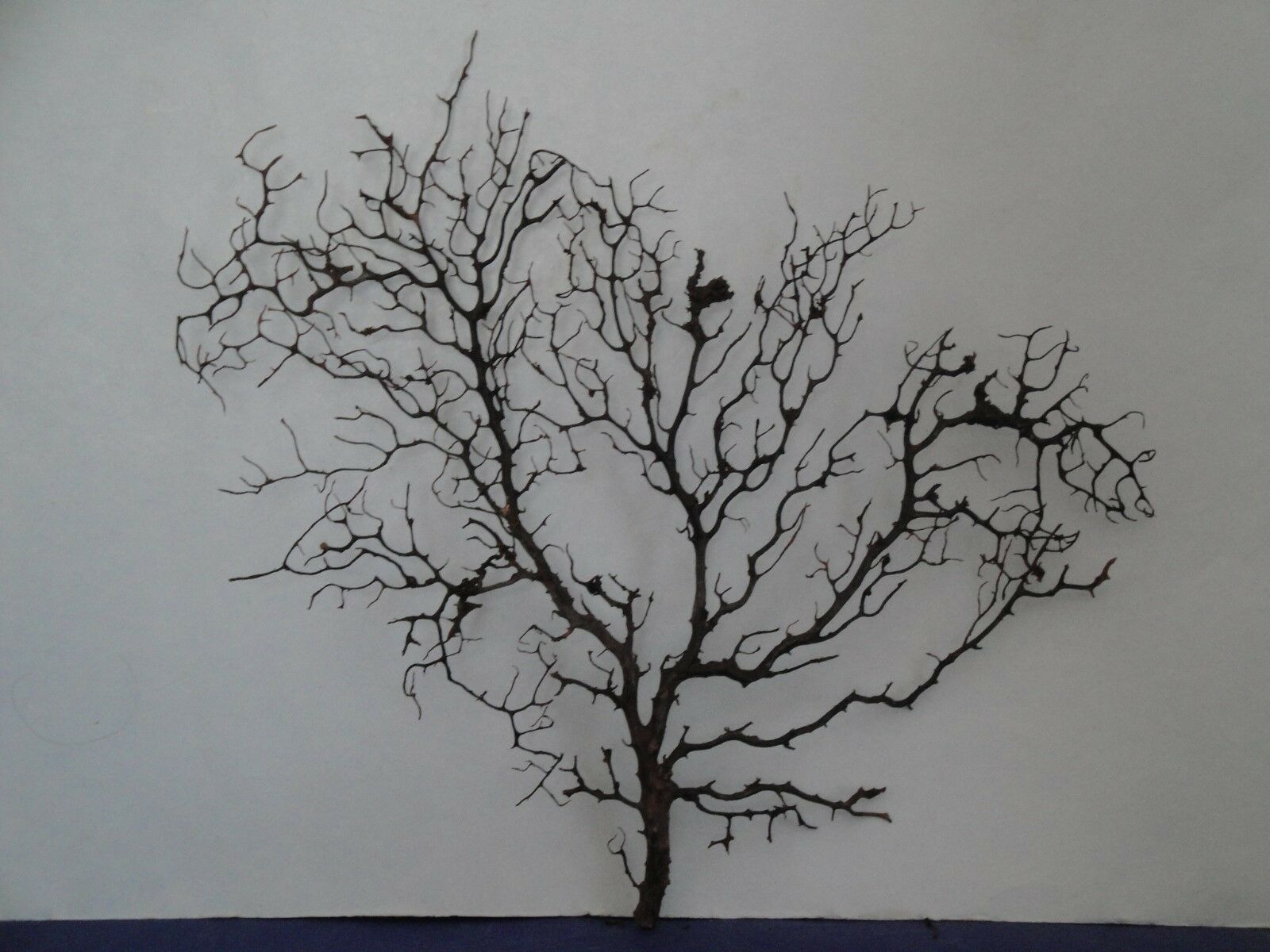 14.2  x 13.8  L Noir gargonia Sea Fan Fish Tank coquillages Reef Coral