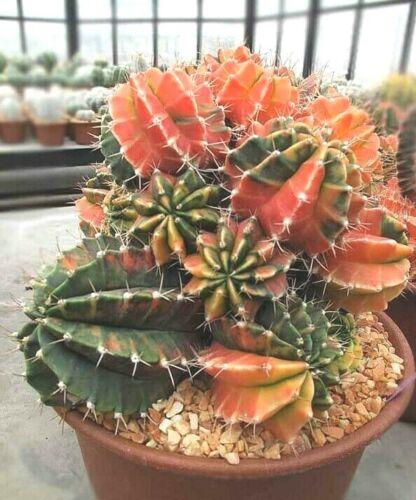 Gymnocalycium Mihanovichii variegata succulent cactus SEEDS~exotic and rare