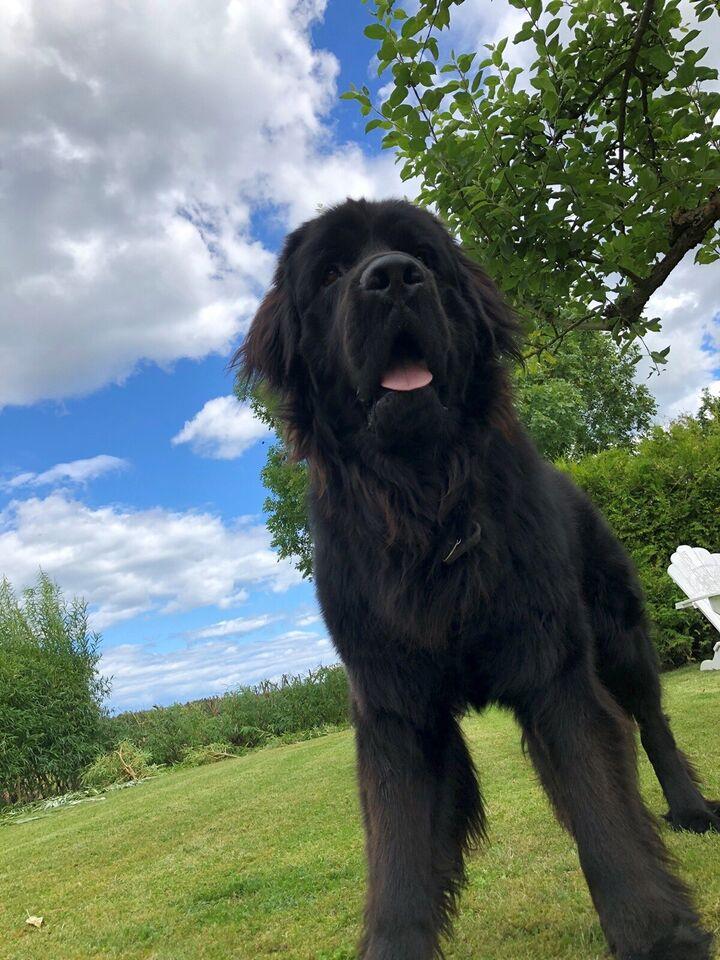 New foundlænder , hund, 12 mdr.