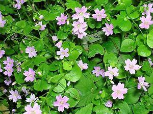 20-SIBERIAN-SPRING-BEAUTY-Pink-Purslane-Claytonia-Sibirica-Candy-Flower-Seeds