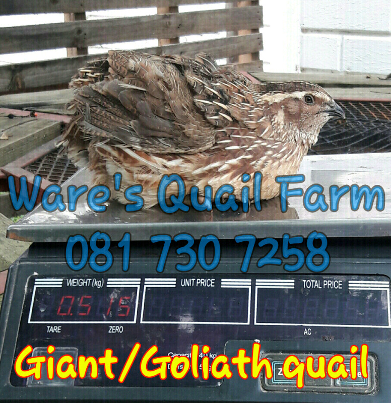 Goliath and Giant Quails undiluted