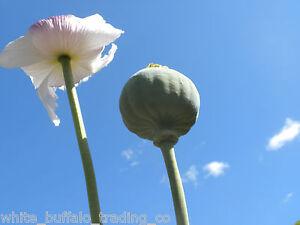 1000-TASMANIAN-Poppy-seeds-Papaver-Somniferum-white-flower-Afghan-grown-Taz-seed