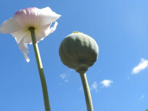 1 OZ TASMANIAN POPPY seeds white flower grown Taz seed from Australia