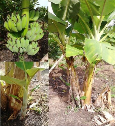 NEW 20 Banana Plant Seeds Musa acuminata Cultivated banana thai