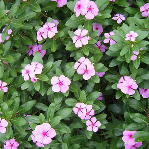 Details about Liveseeds - Madagascar Periwinkle 20 Seeds Catharanthus  Roseus white & purple