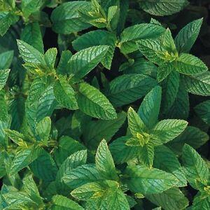 Herb-Seeds-Green-Mint-2500-Seeds