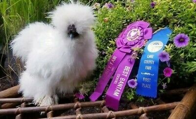 All Colors 1 EGG or more Silkie chicken hatching eggs
