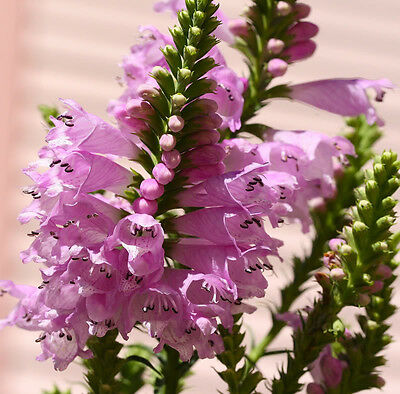 50 PINK OBEDIENT PLANT False Dragon Head Flower Seeds