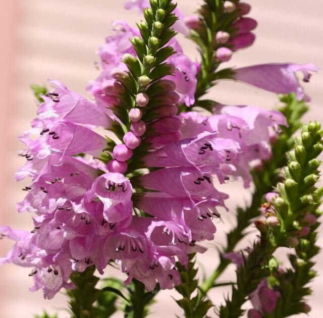 50 pink obedient plant false dragon head flower seeds ebay 50 pink obedient plant false dragon head flower seeds mightylinksfo