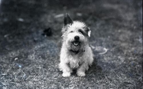 Postcard Mix? Vintage repro Jack Russell Russell Rough Coated Terrier