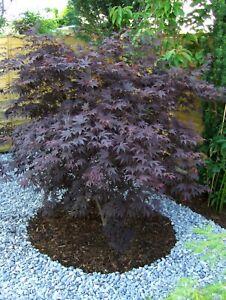 Acer palmatum Bloodgood 100-110cm, dunkelroter Fächerahorn, Japanahorn