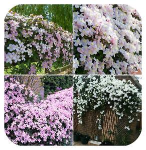 4-x-Clematis-Montana-Mixed-Bare-Root-Plants-Climbing-Vine-Flowering-shrub