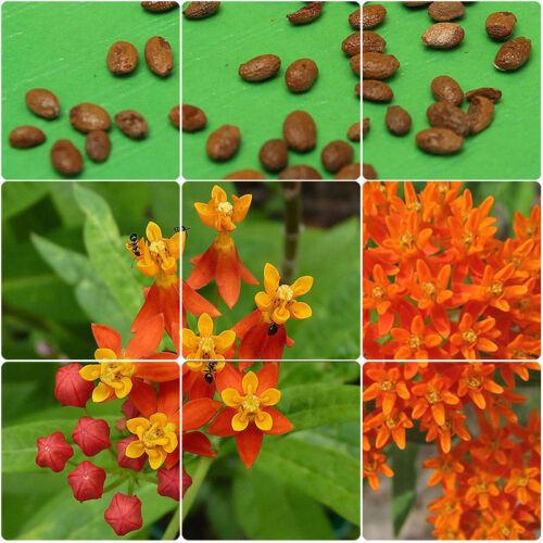 90Pcs Maison Jardin Vue Orange butterflu Asclépiade Asclepias Graines de Fleurs Plantes