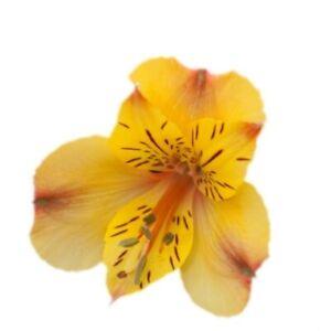 Alstroemeria hybrid lichtnelke Inkalilie Colorita/® Ariane