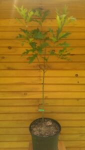 36-48-3-039-4-039-Pin-Oak-Tree-Quercus-palustris-live-tree