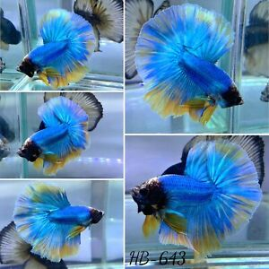 (HB-643) Lovely Blue Big Tail Live Halfmoon Male Betta Fish High Quality
