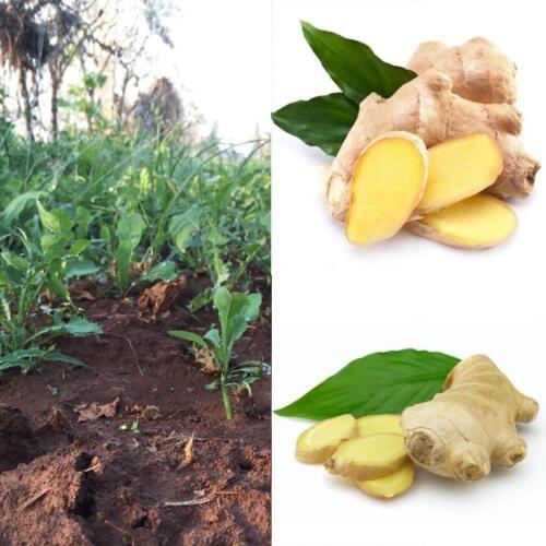 100 Stk Ingwer Samen Balkon Topfpflanzen Bonsai Pflanzensamen Vier Saison Lot