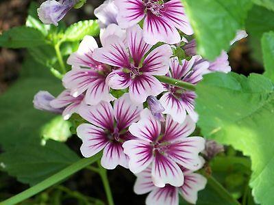 PERENNIAL FLOWER MALVA ZEBRINA 60 SEEDS