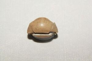 Russian-trilobite-Panderia-triquetra-VOLBORTH-1863-fossil-Russia