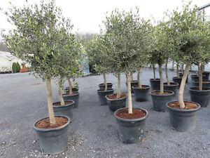 olivenbaum olive 20 jahre 160 180 cm beste qualit t winterhart ebay. Black Bedroom Furniture Sets. Home Design Ideas