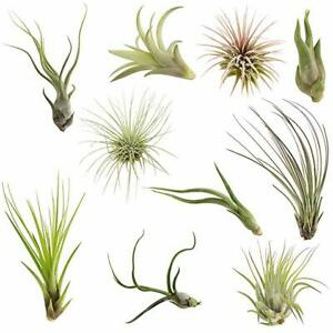 SALE-10-Pack-Assorted-Tillandsia-Easy-Care-Collection-Air-Plants-FREE-SHIPPING