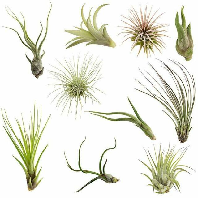 10 Pack Assorted Tillandsia Easy Care Collection Air Plants For