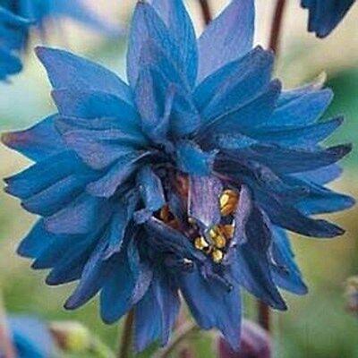 25+ BLUE BARLOW COLUMBINE AQUILEGIA  FLOWER SEEDS / PERENNIAL