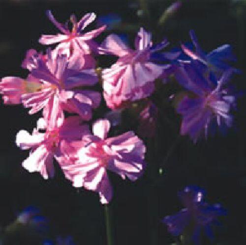 Large Packet 1000 Seed Soapwort Saponaria officinalis Wild Flower