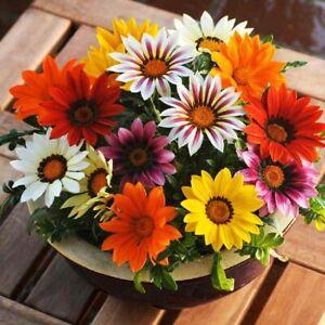 Graines Trésor Fleur Gazania Mix Plant Oudoor balcon Annuelle Jardin Ukraine