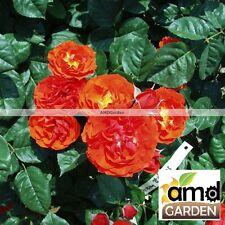 Pianta di Rosa A CESPUGLIO Animo Polyantha (vera) vaso quadro cm 22 FOTO REALE