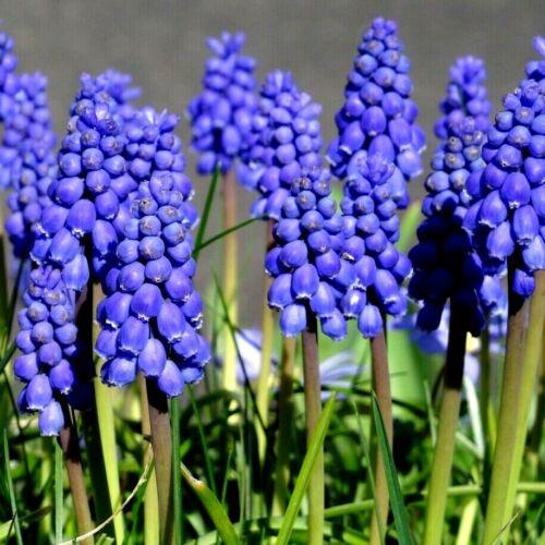 MUSCARI BULBS /'Grape Hyacinth/' Spring Flowering Garden Bulbs Perennials Plants