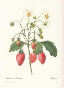 Fragaria-Erdbeere-FAKSIMILE-Pierre-Joseph-Redoute-1833