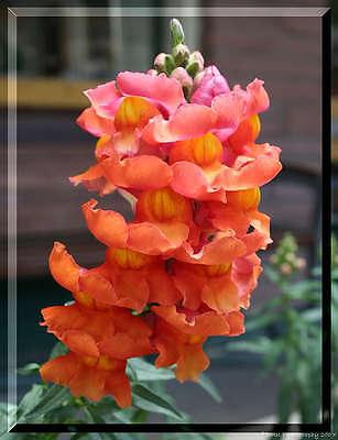 250 Orange Wonder Snapdragon Löwenmaul Majus Blumensamen Geschenk /& Kamm S//H