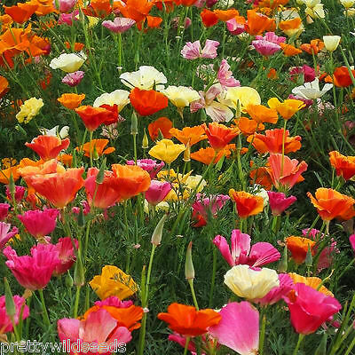 CALIFORNIAN POPPY MIX - Escholtzia californica 1600 to 4,000,000 seeds wholesale