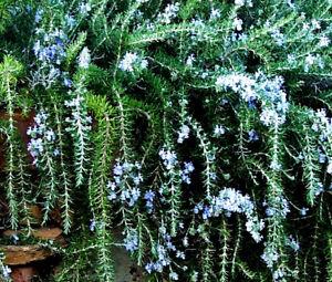 TOPF-ROSMARIN-haengend-ueber-1-m-lang-himmelblau-Blueten-Rosmarinus-officinalis