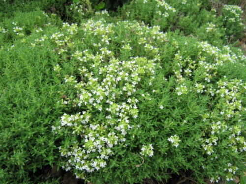 Essential oil Thyme White with Thymol 250 ml