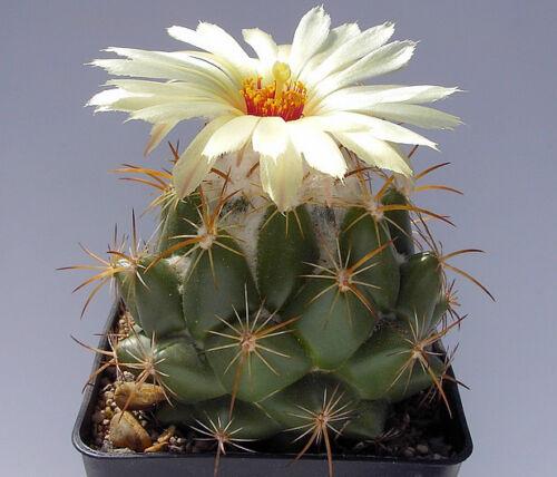 10 graines de Coryphantha odorata semillas cactus seeds