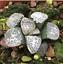 Haworthia-groenewaldii-Succulent-plants-potted-Plants-Home-Garden-Bonsai-Garden thumbnail 4