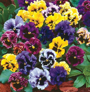 Pansy Seeds Frizzle Sizzle Blue 50 FLOWER SEEDS