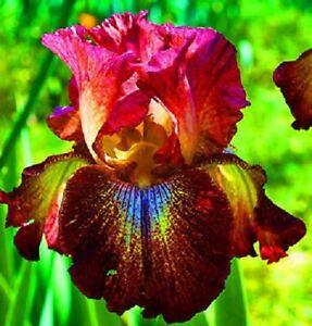 Bearded 2 Blue Iris Bulbs Roots Perennial Flower Home Garden Bonsai Fragrant