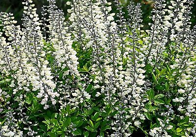 WHITE WILD INDIGO * Baptisia alba * SEASONAL HEDGING * ATTRACTIVE FOLIAGE * SEED