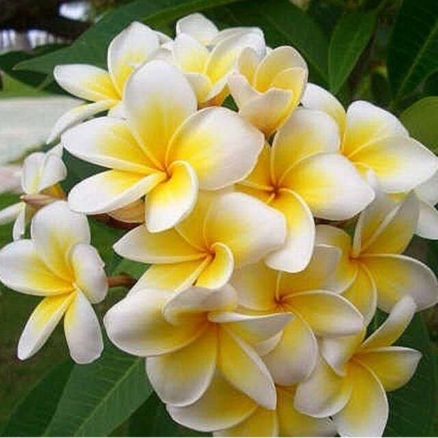 10PCS Plumeria Rubra Frangipani Home Garden Plant Tropicals Tree Flower Seeds