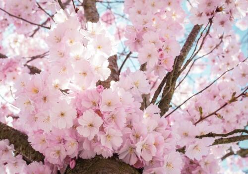 Vlies   Fototapete Tapete Vliestapete XXL 15F0397380 Blumen Kirschblüte