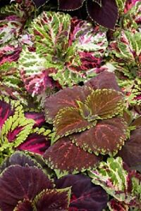 15-Pelleted-Seeds-Coleus-Kong-Empire-Mix-Giant-Coleus-Seeds