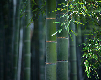 Giant Moso Bamboo seeds Phyllostachys Pubescens Fresh seeds. Shipping from USA!