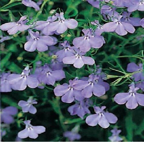 Fountain Blue Trailing Lobelia 5000 Seeds Flower